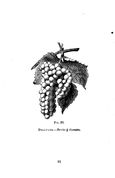 grape-illustration