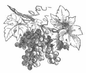grapes_on_branch