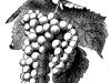 grape-illustration