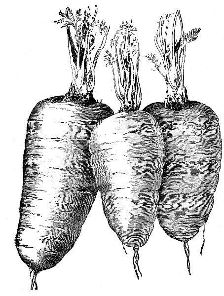 carrots-sketch
