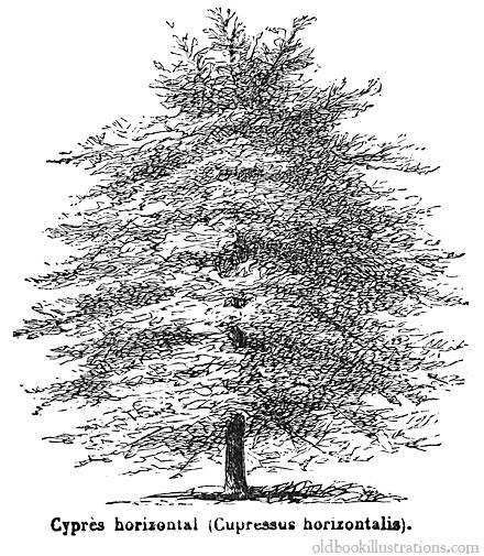 cypress-tree-illustration
