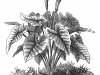 caladium-illustration