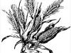 corn_wheat