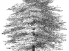 cypress-tree-illustration