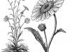 daisy-illustration